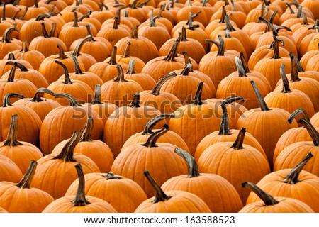 Horizontal shot of pumpkin patch