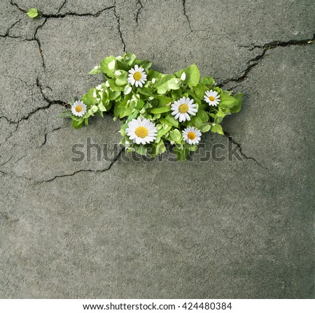 horizontal top view of a bunch of daisies with green leaves coming out through the cracks of asphalt on a street - stock photo