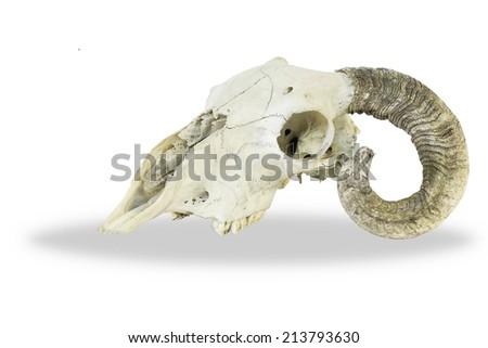 Horn animal skull - stock photo