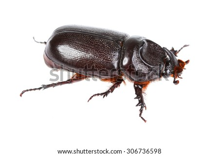 Horn beetle (Dynastinae) on white  background.