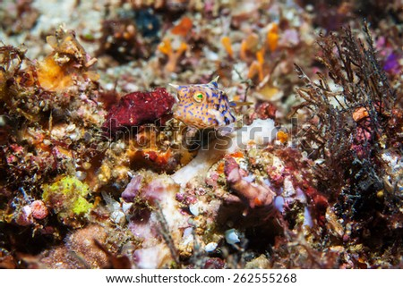 horn box fish - stock photo