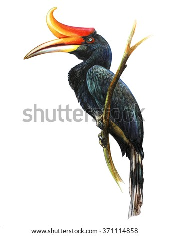Hornbill drawing - stock photo