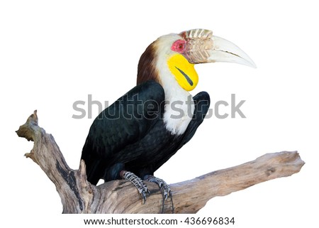 Hornbill is very big beak and big size of birds, hornbill live in rain forest with the big of trees.This image is isolated big hornbill. - stock photo