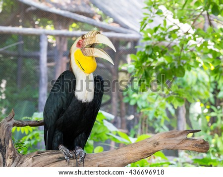 Hornbill is very big beak and big size of birds, hornbill live in rain forest with the big of trees. - stock photo