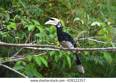Hornbill perched on tree branches naturally