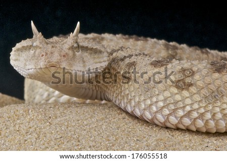 Horned desert viper / Cerastes cerastes - stock photo