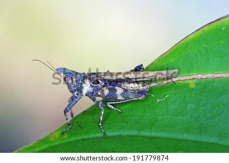 horned grasshopper is staying on the tropical leaf - stock photo