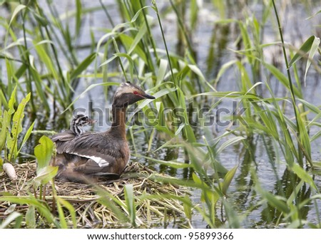 Horned Grebe and babies in Saskatchewan Canada