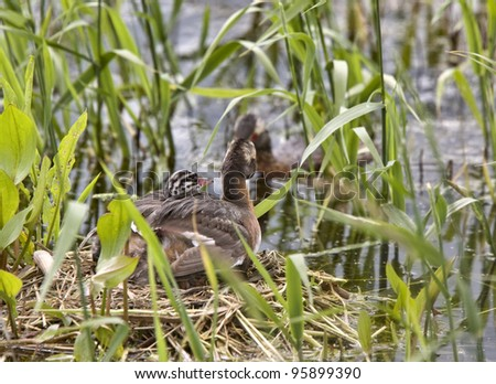 Horned Grebe and babies in Saskatchewan Canada - stock photo