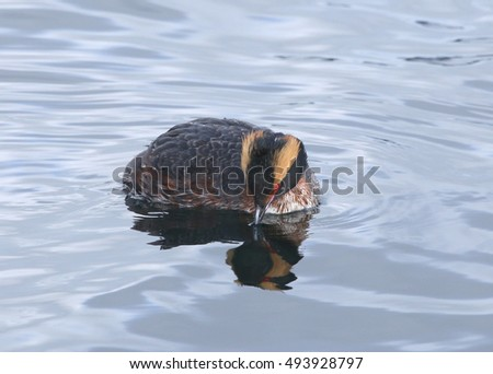 Horned Grebe (looking ahead and down)