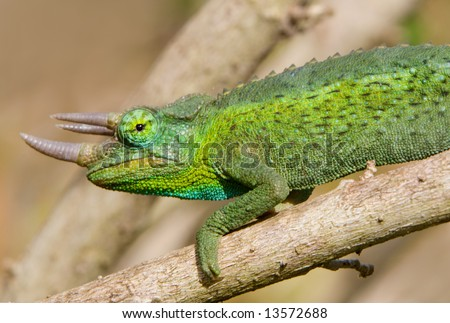 Horned green chameleon on tree branch - stock photo