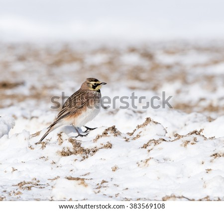 Horned Lark Foraging in Winter