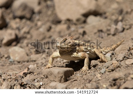 Horned Lizard in Desert
