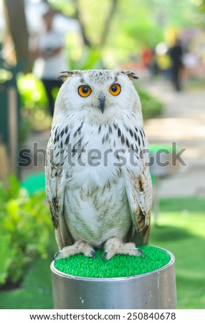 Horned owl, bird of prey - stock photo