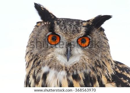 Horned owl portrait - stock photo