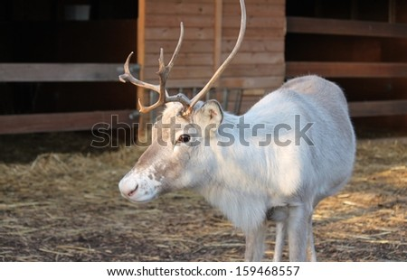 Horned Reindeer at zoo