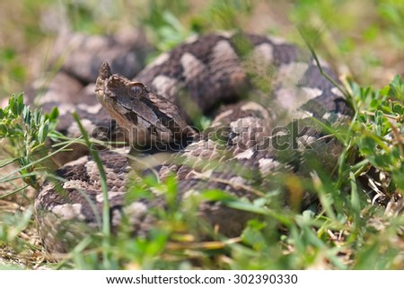 Horned viper in the grass in nature - stock photo