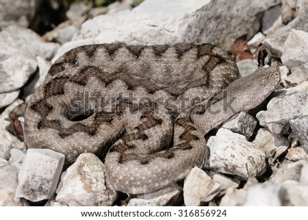 Horned viper (Vipera ammodytes) female - stock photo