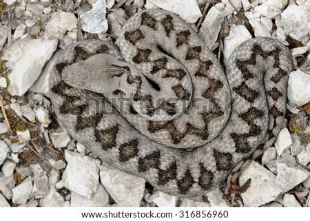 Horned viper (Vipera ammodytes) female pattern - stock photo