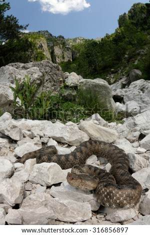 Horned viper (Vipera ammodytes) in its italian natural habitat