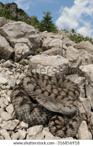 Horned viper (Vipera ammodytes) in its italian natural habitat - stock photo