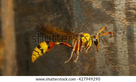 hornet, fly - stock photo