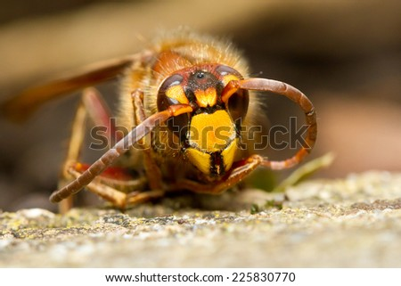 Hornet on a stone - stock photo