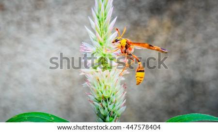 hornet on Celosia argentea flower - stock photo