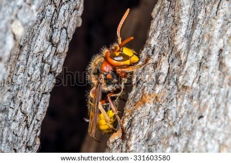 Hornets nest entrance - stock photo
