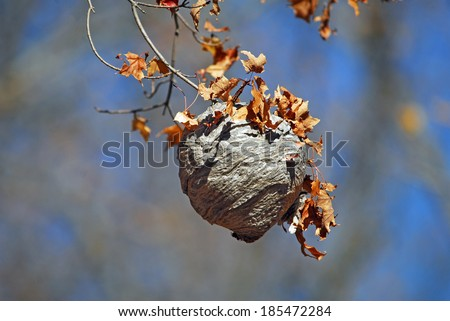 Hornets' nest  made by Bald-faced hornets on end of tree branch, with fall leaves - stock photo
