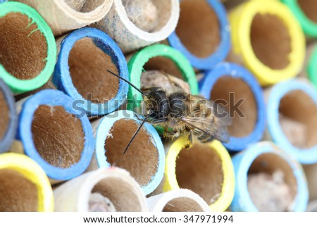 Hornface mason bee, Osmia Cornifrons,  closeup on nesting tubes - stock photo