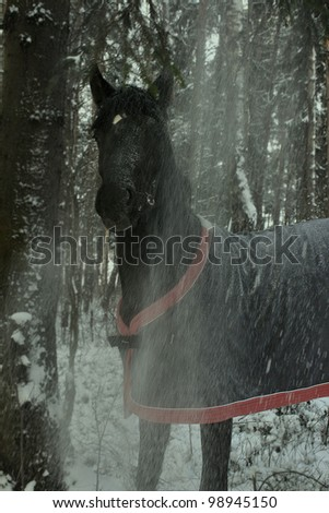 horse among the trees in the winter forest horsecloth - stock photo