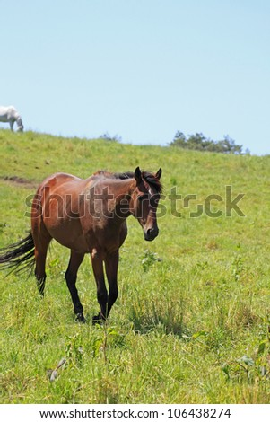 horse and  field  in summer