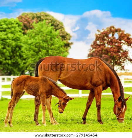 Horse and foal at ranch.  - stock photo