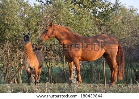Horse and llama sharing a Saskatchewan pasture - stock photo