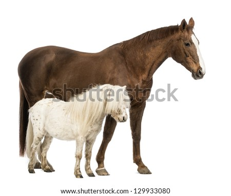 Horse and Shetland standing next to each other in front of white background - stock photo