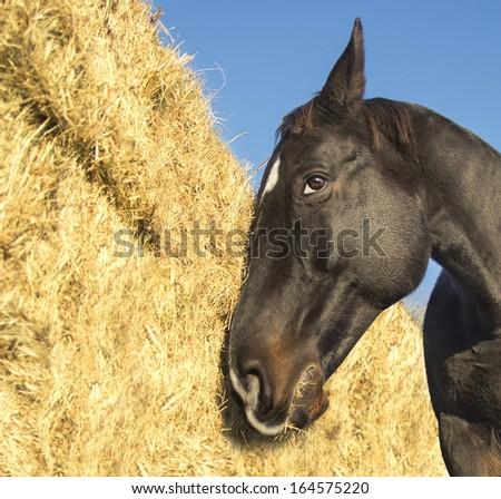 Horse at hay, straw  - stock photo