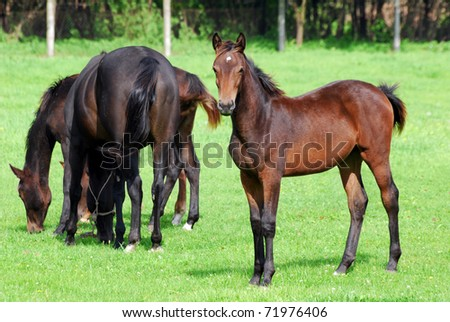 horse brown foal on pasture