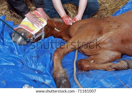horse castration - stock photo