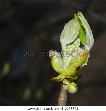 Horse-chestnut, aesculus hippocastanum, bud on branch with bokeh background macro, selective focus, shallow DOF - stock photo