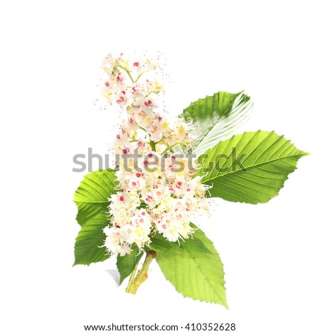 Horse-chestnut (Aesculus hippocastanum, Conker tree) flowers and leaf isolated on white background, clipping path