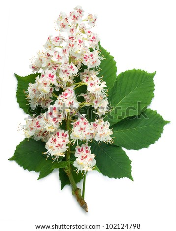 Horse-chestnut (Aesculus hippocastanum, Conker tree) flowers and leaf on a white background - stock photo