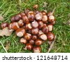 horse chestnut buckeye conker outside in the wood - stock photo