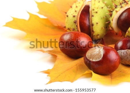 Horse-chestnut on yellow maple leaves isolated on white
