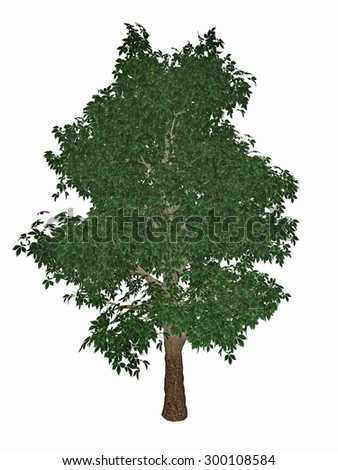 Horse-chestnut or conker tree, aesculus hippocastanum isolated in white background - 3D render - stock photo