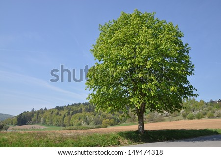 Chestnut Tree Stock Images RoyaltyFree Images Vectors