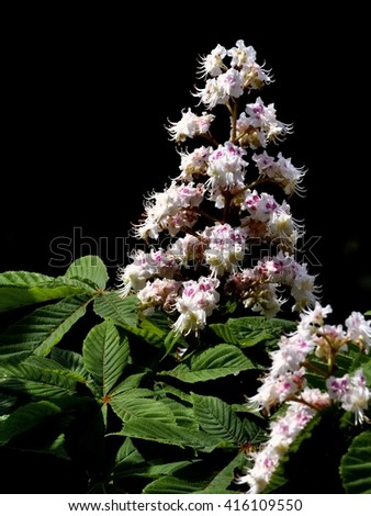 Horse chestnut tree flowers.Spring  magical plant with beautiful leaves and flowers Portrait format.. - stock photo