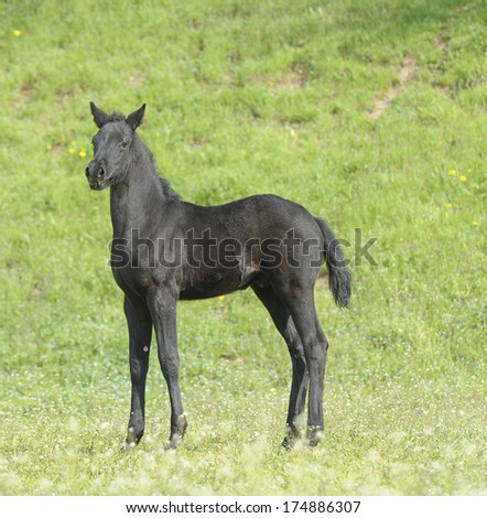 Horse - Close up of a beautiful black stallion foal looking attentive and curious what surrounds