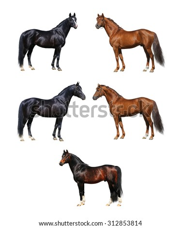 Horse collection - horses standing on white background - stock photo