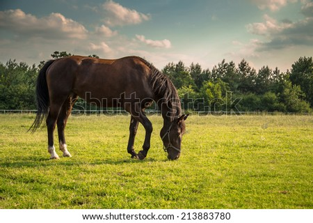 Horse eating grass on paddock in sunny day  - stock photo